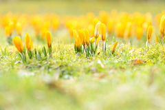 Yellow crocuses in spring. Close up, limited depth of field, sharpness on some flowers in the middle of the picture Royalty Free Stock Photography