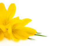 Yellow Crocus / Spring flowers  Royalty Free Stock Photography