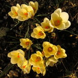Yellow crocuses in the sunshine. Royalty Free Stock Image