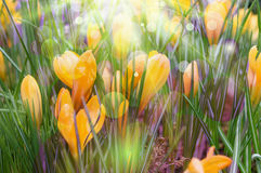 Yellow crocuses with violet light bubbles stock photo