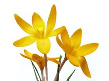 Yellow crocuses on white. Beautiful yellow crocuses on white background Stock Photo