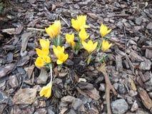 Yellow Crocuses Stock Images