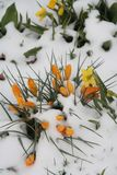 Yellow Crocuss covered with Snow Stock Photography