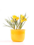Yellow crocusses Royalty Free Stock Images