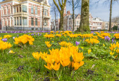Yellow crocusses in a park in Groningen Stock Photo