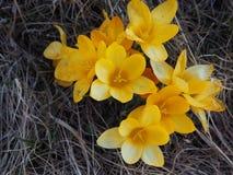 Yellow crokus vernus in spring. Yellow crokus vernus spring springtime nature colorful flowers flora blossom europe sweden natural floral blooming beautiful stock image