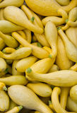 Yellow or crook neck squash on display Royalty Free Stock Photos