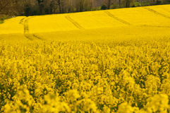 Yellow crops rolling over countryside. Tracks in yellow field of in summer stock image