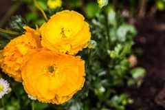 Yellow crowfoot in a bouquet. Of flowers stock photography