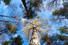 Yellow crown of birch in the fall against the blue sky. Birch trunk with a yellow crown