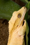 Yellow crown Gecko Stock Photos