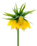 Yellow crown Imperial Stock Photo