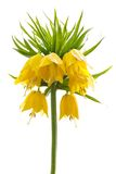 Yellow Crown imperial on white background Royalty Free Stock Images