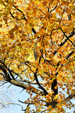 Yellow crown of maple tree in autumn Stock Image
