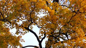 Yellow crown of maple tree. In sunny day in autumn stock video footage