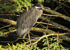 Yellow Crown Night Heron. The Yellow Crown Night Heron in south Florida Royalty Free Stock Images