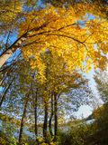 Yellow crown of trees in the autumn below royalty free stock photos
