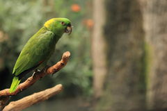 Yellow-crowned amazon Stock Photo