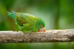 Yellow-crowned Amazon, Amazona ochrocephala auropalliata, green parrot, sitting on the branch, Costa Rica. Bird on the branch. Yellow-crowned Amazon, Amazona Royalty Free Stock Photography