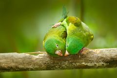 Yellow-crowned Amazon, Amazona ochrocephala auropalliata, pair of green parrot, sitting on the branch, courtship love ceremony, Co. Sta Rica Royalty Free Stock Photos
