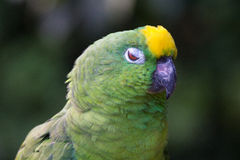 Yellow-crowned amazon. Closeup of yellow crowned amazon parrot of South America Stock Images