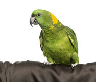 Yellow-crowned Amazon. Isolated on white Royalty Free Stock Image