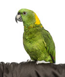 Yellow-crowned Amazon. Isolated on white Stock Photography