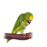 Yellow-crowned amazon isolated on white Royalty Free Stock Photo
