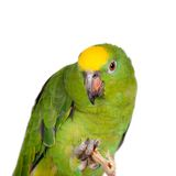 Yellow-crowned amazon isolated on white Royalty Free Stock Images