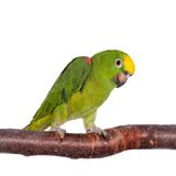 Yellow-crowned amazon isolated on white Stock Photography