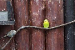 Yellow-crowned amazon at The Lagunas de Montebello National Park. Mexico Royalty Free Stock Image