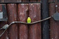 Yellow-crowned amazon at The Lagunas de Montebello National Park. Mexico Royalty Free Stock Photography