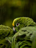Yellow-crowned Amazon parrot (amazona ochrocephala) Stock Images