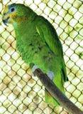 Green amazon parrot  Stock Photography