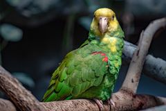 Yellow crowned amazon parrot portrait. Close up Royalty Free Stock Photos