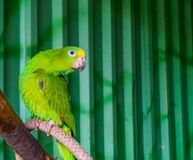 Yellow crowned amazon parrot sitting on a branch in the aviary, popular tropical pet from the amazon basin of America. A yellow crowned amazon parrot sitting on royalty free stock images