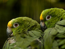 Yellow-crowned Amazon parrots Royalty Free Stock Photography
