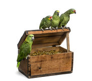Yellow-crowned Amazon and a Red-lored amazon isolated on white. Yellow-crowned Amazon and a Red-lored amazon on a pirate chest, isolated on white Royalty Free Stock Photos
