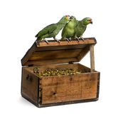 Yellow-crowned Amazon and a Red-lored amazon isolated on white. Yellow-crowned Amazon and a Red-lored amazon on a pirate chest, isolated on white Stock Images