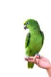 YELLOW-CROWNED AMAZONAS an Hand Papagei lokalisiert auf weißem Hintergrund Stockbild