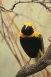 Yellow-crowned bishop Royalty Free Stock Image