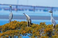 Yellow and Black-crowned Night Heron sitting together. Royalty Free Stock Photo