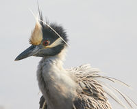Yellow Crowned Heron Royalty Free Stock Image