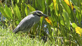 Yellow crowned ight heron Stock Photography