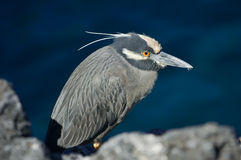 Yellow-crowned Night Heron. (Nycticorax violaceus Stock Photography