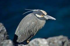 Yellow-crowned Night Heron. (Nycticorax violaceus). Puerto Egas, James Island, Galapagos, Ecuador stock photography
