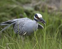 Yellow-crowned night-heron Stock Photography