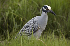 Yellow-crowned night-heron Stock Image