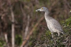 Yellow-crowned Night Heron Stock Images
