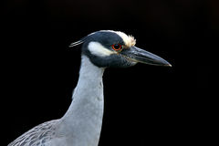 Yellow Crowned Night Heron Royalty Free Stock Image